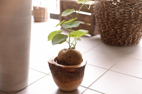 """珍しい植物""""ステファニア""""が『to..."""